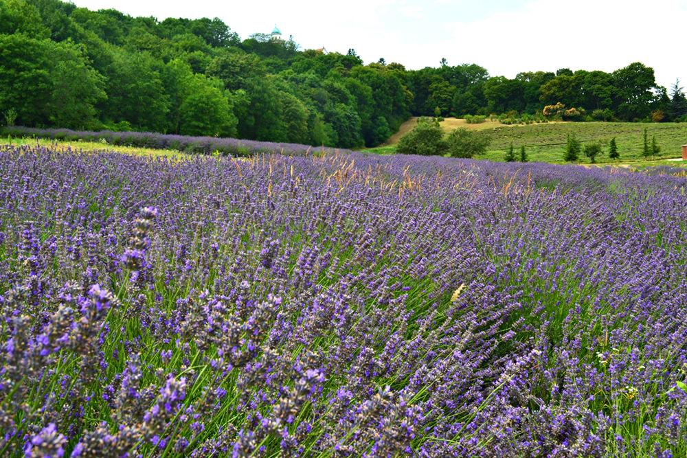 Hungary Lavender Farm
